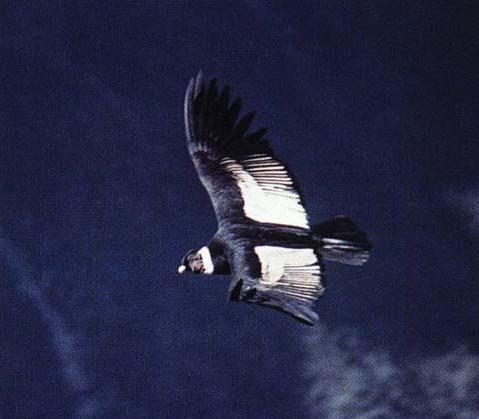 A Condor flying free