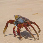Ecuador Galapagos Gay & Lesbian travel Ecuador tour: Crabs in the beach